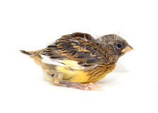 One Canary Royalty Free Stock Image