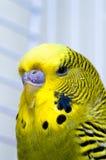 Canary bird. Green male domestiq Canary bird in captivity Stock Photography