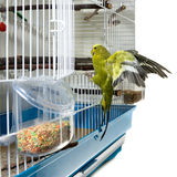 Canary bird. A tame domestic canary bird landing in his cage after a flight Royalty Free Stock Photography