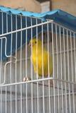 Canary bird. Yellow canary bird in a cage. Canary bird Stock Photography