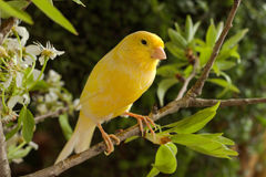 Canary bird. Canary on a branch of a flowering pear royalty free stock image
