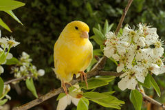 Canary bird. Canary on a branch of a flowering pear stock image