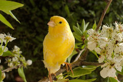 Canary bird. Canary on a branch of a flowering pear. Spring garden stock photography