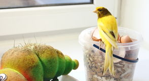 Canary bird. On a bucket of feed royalty free stock image