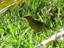 A Canary -  bird. A canary eating grass and weeds. Green and sun . Yellow bird Stock Photo