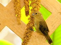 Canary bird eating on lattice Stock Photo