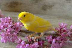 Canary bird. Royalty Free Stock Photography