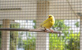 Canary bird inside a cage of steel wires perched on a wooden stick stock photo