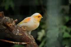 Canary bird Stock Photography