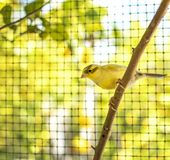 Canary bird perched on a stick inside a cage stock images
