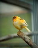 Canary bird Royalty Free Stock Image