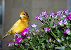 Canary-bird. Canary bird on a purple flowered stock photo