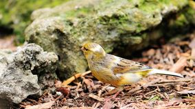 Canary Bird Walking Royalty Free Stock Photo