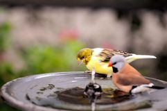 Canary bird in water Royalty Free Stock Images
