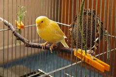 Canary bird. Yellow canary sitting on the twig in the cage royalty free stock photography