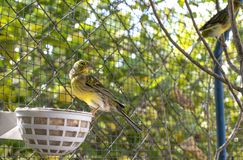 Canary birds inside a big cage made of steel wires stock photo