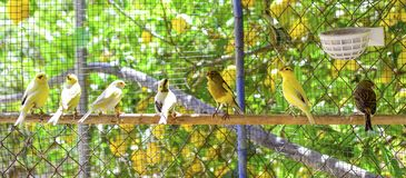 Canary birds inside a cage about to take flight stock image