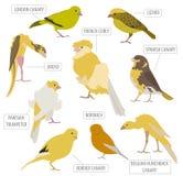 Canary breeds icon set flat style isolated on white. Pet birds c Stock Image