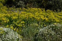Canary buttercup and Argyranthemum adauctum. Canary buttercup Ranunculus cortusifolius in the middle and Argyranthemum adauctum bottom left and right. San Mateo royalty free stock photos