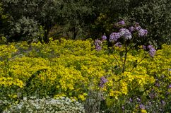 Canary buttercup, Argyranthemum adauctum and Pericallis webbii. Canary buttercup Ranunculus cortusifolius in the middle, Argyranthemum adauctum bottom left and stock photo