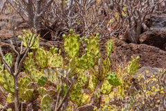 Canary cactuses Stock Images