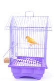 Canary in the Cage Stock Image