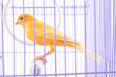 Canary in the cage Royalty Free Stock Photo