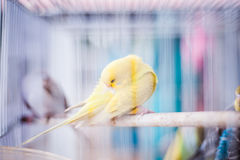 Canary in Cage Royalty Free Stock Images