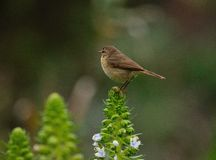 Canary chiffchaff on echium wildflowers Royalty Free Stock Images