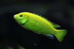 Canary cichlid (Labidochromis caeruleus) Royalty Free Stock Photography