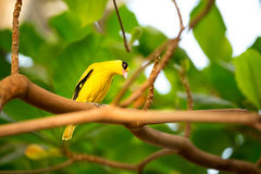 Canary. Cute yellow  canary on branch Royalty Free Stock Image