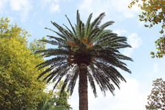 Canary date palm against the blue sky. In the park Royalty Free Stock Photo