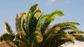Canary date palm leaves in the wind on sky background stock video footage