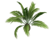 Canary_date_palm_(Phoenix_canariensis) Royalty Free Stock Images