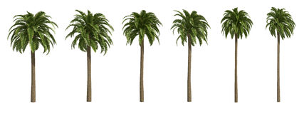 Canary date Palms Royalty Free Stock Photos
