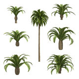 Canary date Palms Stock Images