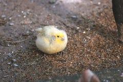 Canary Royalty Free Stock Photo