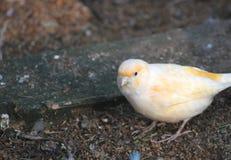Canary Royalty Free Stock Photos