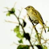 Canary of the earth Sicalis flaveola. The Canaries live in dry fields, agricultural areas, caatinga, forest edges, cerrado areas, natural fields, abandoned Royalty Free Stock Image
