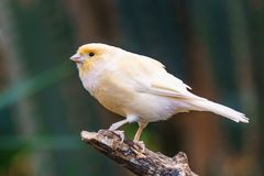 Canary Exotic birds and animals in wildlife in natural setting.  stock photo