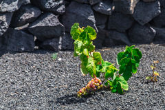 Canary grapes in ash fields. Lanzarote island is a superb place witch unique color palette. A beautiful place where you will fell like in a dream. The volcanic Royalty Free Stock Images
