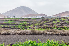 Canary grapes in ash fields. Lanzarote island is a superb place witch unique color palette. A beautiful place where you will fell like in a dream. The volcanic Stock Photography