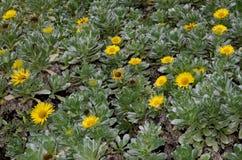 Canary Island daisy. Canary Island daisy Asteriscus sericeus. Viera y Clavijo Botanic Garden. Tafira. Las Palmas de Gran Canaria. Gran Canaria. Canary Islands Royalty Free Stock Image