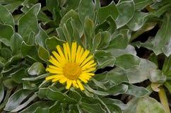 Canary Island daisy. Asteriscus sericeus. Viera y Clavijo Botanical Garden. Tafira. Las Palmas de Gran Canaria. Gran Canaria. Canary Islands. Spain Stock Images