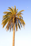 Canary island date Palm Royalty Free Stock Image