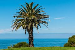 Canary Island Date Palm royalty free stock photos