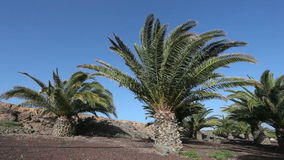Canary Island Date Palm Tree Royalty Free Stock Images