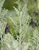 Canary Island Lavender Royalty Free Stock Photo