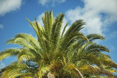 Canary Island Palm Royalty Free Stock Photo