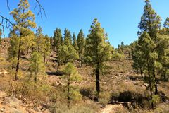 Canary Island pine forest in the interior of the Gran Canaria Island, Spain. Canary Island pine forest in the interior of the Gran Canaria Island in Spain royalty free stock photography